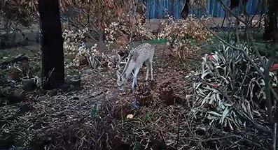 Veados aparecem no pinhal de Leiria à procura de comida