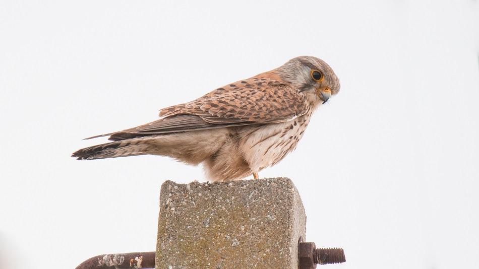 Falcão-peneireiro-vulgar (Falco tinnunculus)