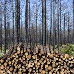 ICNF prevê rearborizar mais 1.500 hectares no Pinhal do Rei até 2022