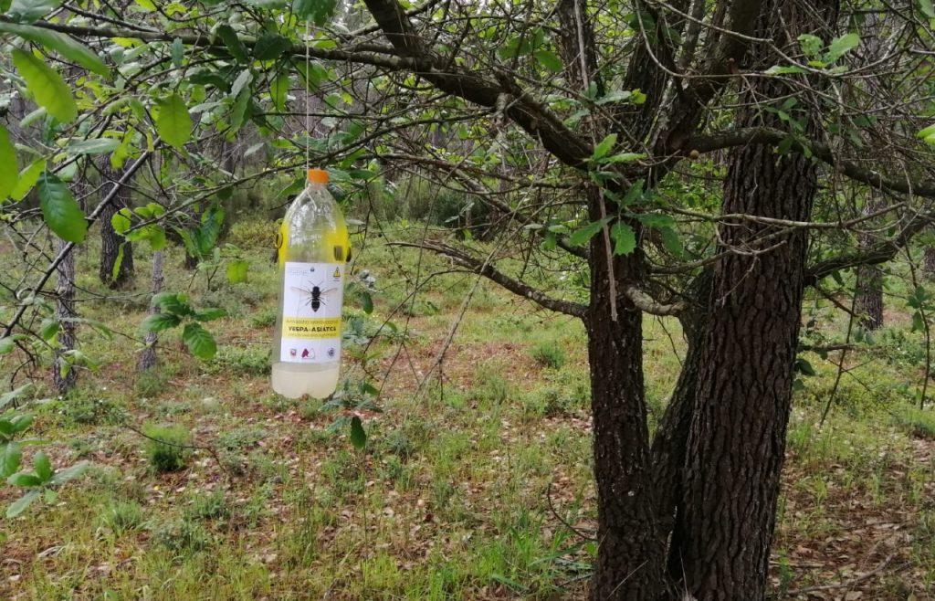 armadilha para vespa asiática, pendurada numa árvore